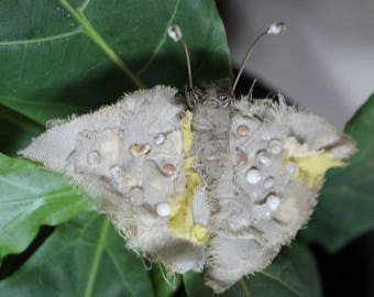 Miss Molly moth a cute tattered moth