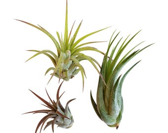 Bliss Gardens 3 Pack Ionantha Tillandsia Air Plants Assorted / FREE SHIPPING