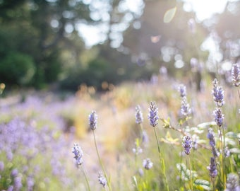 Lavender Flowers - Stock Photography