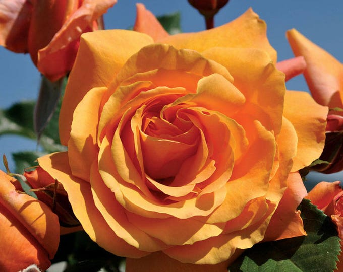Arborose ® Tangerine Skies ™ Rose Bush Large Orange Flowers Climbing Rose Grown Organic Potted - Own Root Non-GMO