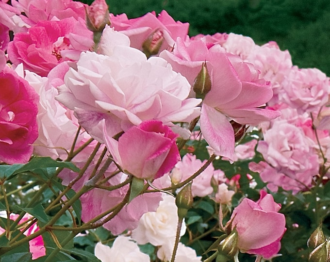 Brilliant Pink Iceberg Rose Plant Organic Grown - Shipped Potted- Own Root Non-GMO Spring Shipping