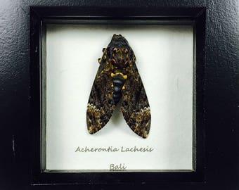 Deaths Head Hawk Moth Wooden Frame Entomology Insect Art