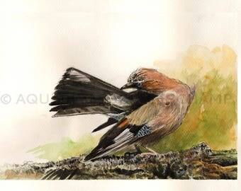 Study of birds - original watercolour of a Jay