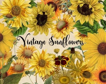 Vintage Sunflower Clipart, antique sunflower illustrations, png digital floral graphics instant download commercial use, yellow flowers