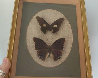 Vintage butterfly moth taxidermy mounted picture 1960s