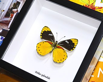 Insect Taxidermy framed real butterfly collection for sale Delias splendida