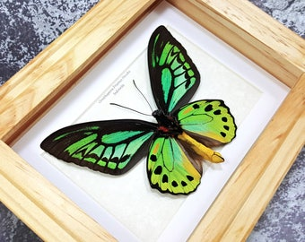 FREE SHIPPING Real Framed Ornithoptera Priamus Hecuba VERSO Common Green Birdwing Butterfly Taxidermy A1 #70