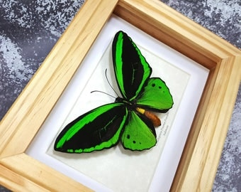 FREE SHIPPING Framed Ornithoptera Priamus Poseidon Common Green Birdwing Butterfly Taxidermy A1 #71