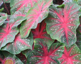 Caladium Bulb Collection Aaron, Red Flash, Hearts Desire,Summer Pink, & Passionista
