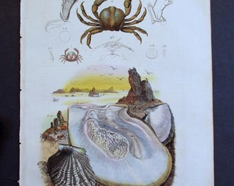 1839: Pearl Mollusc, Shell and Pinnotheres or Pea Crab. Natural History Engraving. Antique Hand-colored Print, Guerin. Original.