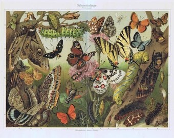 old lithografic print butterfly and caterpillar, 1895