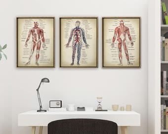 Anatomy Print SET of 3, Anatomical Poster, Muscles and Circulatory System Chart, Medical Print, Anatomy Chart, Antique Anatomy