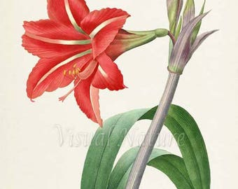 Amaryllis Flower Art Print, Botanical Art Print, Flower Wall Art, Flower Print, Floral Print, Redoute Art, red,green, Amaryllis brasiliensis