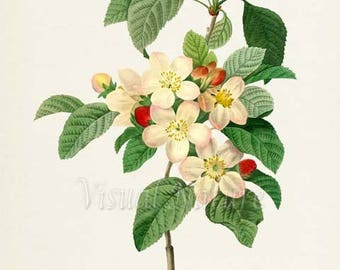 Flores mali Flower Art Print, Botanical Art Print, Flower Wall Art, Flower Print, Floral Print, Redoute Art, white, green