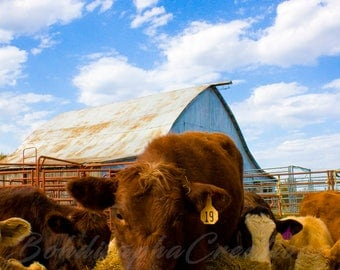 Color Animal Photography Wall Art in Canvas, Metal, or Photo Paper Print; Country Cow
