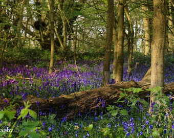 "Woodland Bluebells in Spring Colour Landscape Photography, 5""x7"", 8""x12"""