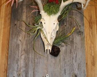 Whitetail Deer - European Skull Mount Coat Rack - On Rustic Wood with Air Plants