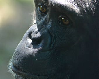The eyes of the chimpanzee