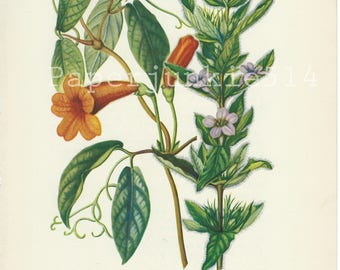 Vintage Book Plate -  Botanical - Flowers - Wild Flower / Cross-Vine / Ruellia