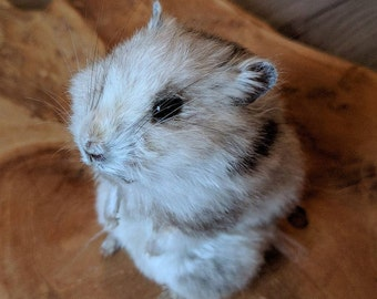 Teddy Hamster Lifesize Mount Taxidermy Sculpture