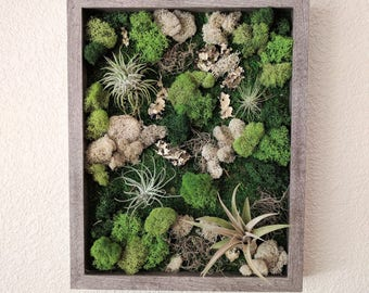 Framed Vertical Wall Garden with Four Air Plants , Reindeer Moss and Lichen  Best Seller 12x15 inch Shadowbox  - 4 Frame Color Options