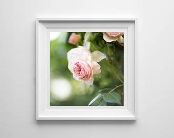Pink Rose, Original Photography Print, Flower, Square, Wall Art, Decor