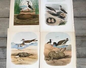 4 Shorebird Original Lithographs, ca 1882, Framable Artwork, Set of 4