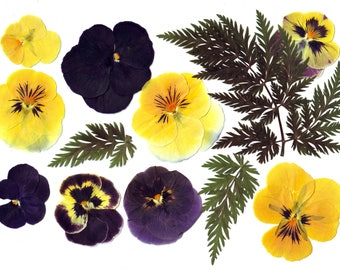 Pressed Violas pansies ( 12 pcs ).Pressed flowers. Real flowers.Herbarium.Lilac. Purple. For Oshibana, Cards, Scrapbooking, Decor