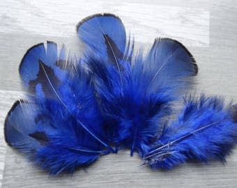 Set of 10 natural Golden pheasant feathers dyed Royal Blue