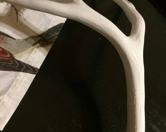 Naturally Shed Mule Deer Antler, Painted White, Five Points