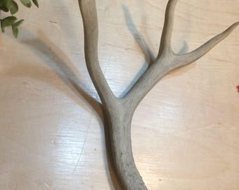 Naturally Shed Mule Deer Antler, Four Point, Natural Craft Supply