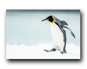 King Penguin in the snow, Penguin Walking, Wild Penguin, Antarctic, Snow Animal, Wildlife Photography, Penguin Photo, Penguin Picture, Bird