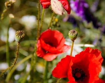 Poppies. Photography of nature. Wall art. Polish flowers. Polish art. Polish photographer. Poland.