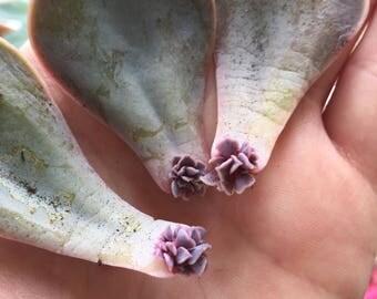 PLANT Echeveria Pearl Von Nurnberg succulent LEAF PROPAGATION