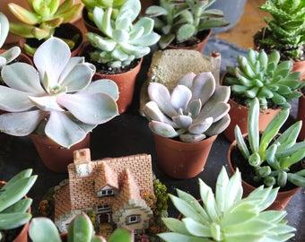 """Set of 4 Mixed Succulent Plants in 5.5cm (2.5"""") Pots. House Plants. Living Walls. Terrariums. Wedding Favours. Fairy Gardens"""