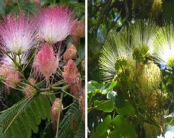 Albizia Julibrissin (30 SEEDS) or Albizia lebbeck (15 SEEDS)-Silk Tree