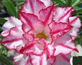 Adenium plant Siam Classic Large Desert Rose rare flowering size succulent plant
