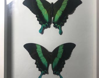 Paplio Blumi Real Taxidermy Butterfly