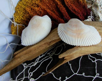 White Florida Ark Shells Natural Seashells Beach Home Decor Natural Collectible Craft Shells