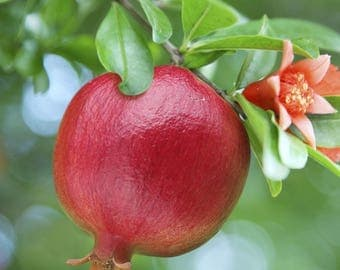 Pomegranate (Wonderful) Fruit Tree - 4 Feet  Tall  - Air Layered Plant