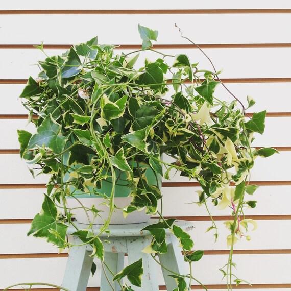 Senecio Wax Ivy Cuttings 5