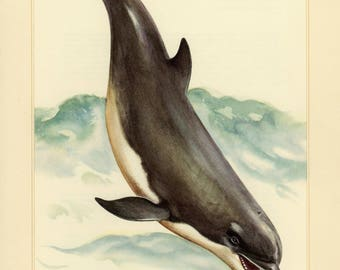 Vintage lithograph of the common bottlenose dolphin from 1956