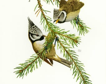 Vintage lithograph of the European crested tit from 1956