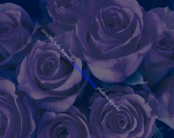 purple roses, 5pack postcards, fine art, purple wallpaper, ballet, table art, creative photo cards