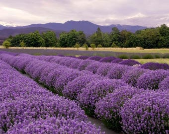 French Provence Lavender Seeds Very Fragrant can grow well in Bonsai organic 200 Seeds