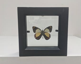 Delias Dixeyi Arfak Butterfly/Insect/Taxidermy