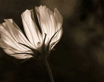 Sunlit Cosmos in Sepia, Flower Macro Photography, Digital Download, Nature Lover, Screensaver, Printable Art, Wall Art, Farmhouse Decor