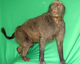 Lifesize Baboon
