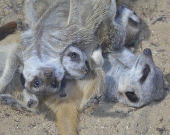 "Meerkat Troupe Relaxing photograph digital download 5x7"""