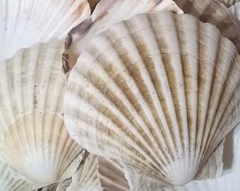 Large Natural Scallop Shells Sea washed 100% Natural UK Scallop Shell 7 - 12cm - 1, 2, 6, 12, 24, 48, 100